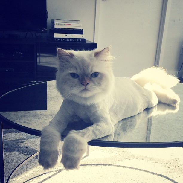 Had to do it #lioncut #persian #cat