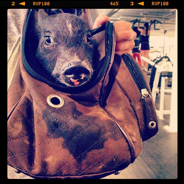 Piglet at the Gym #picoftheday #piglets #pet #crazymoments #iphonepics#onlyiphonepics