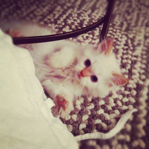 Our Tiny Persian kitty #cats Peaceful #persian #kitty
