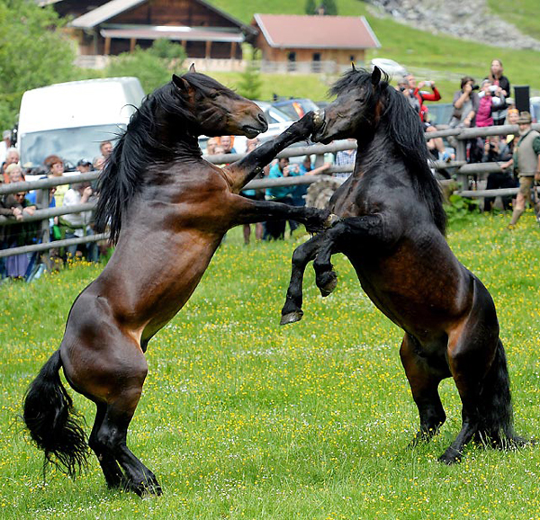 Stallions in the Austrian province of Tyrol battle for leadership of their herd. (AP)