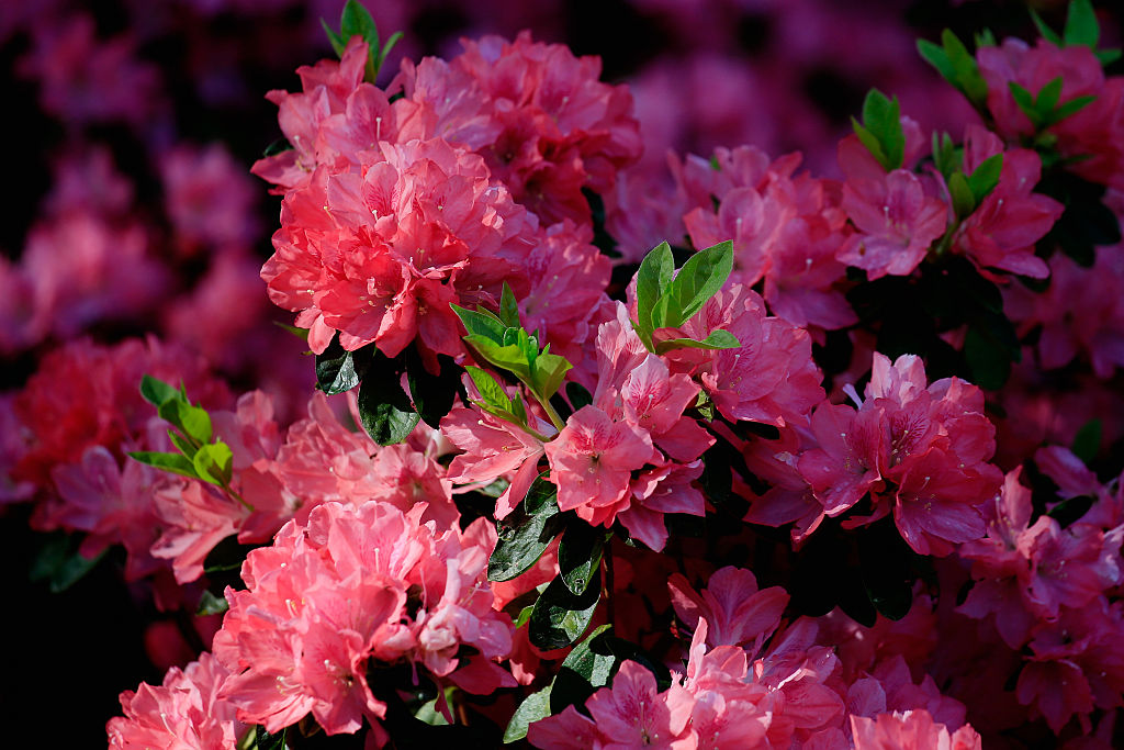 A view of Augusta National's azaleas.