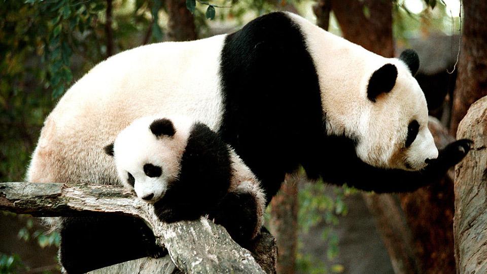 Two pandas at the San Diego Zoo.