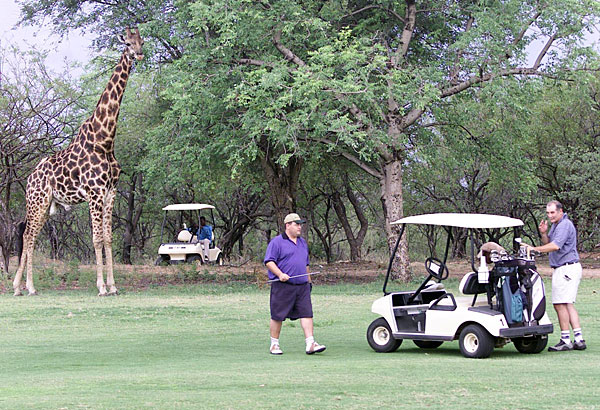 Giraffes are common spectators at the Hans Merensky Golf Course in Phalaborwa, South Africa.