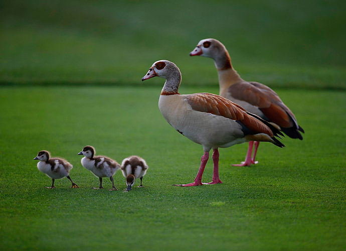 A family of ducks at PGA National paid no mind to the competition around them.