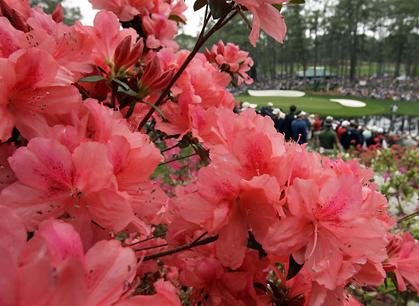 The Azaleas are in bloom just in time for the tournament.
