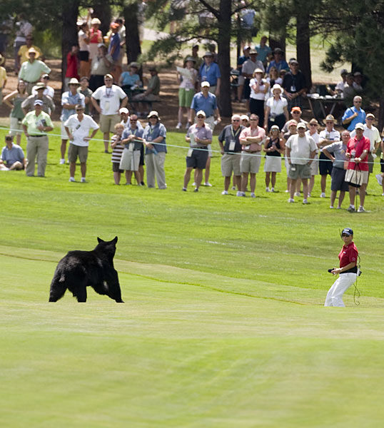 At the 2008 U.S. Senior Open at the Broadmoor, a black bear ran across the fairway.