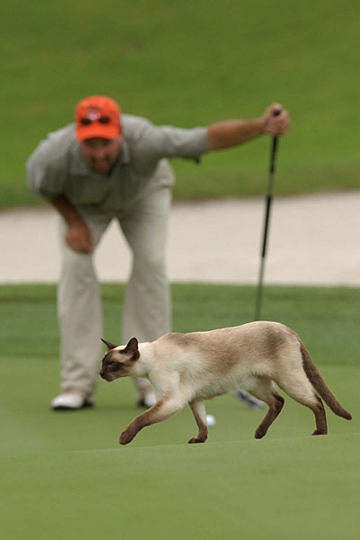 Out of the way, cat! Todd Murphy of Lahania, Hawaii, had to wait as a stray cat made its way across the green at the 2002 NGA professional golf tour's Port City Azalea Classic.