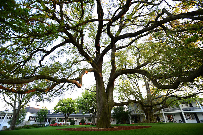 The famous oak tree outside the Augusta National clubhouse on Friday.