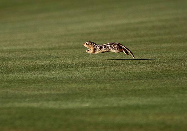A chipmunk ran around the ninth green at the 2011 U.S. Amateur Championship at Erin Hills.