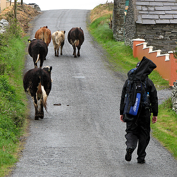 On the road to Lahinch, several farm animals kept Coyne company.                                                                     Course Called Ireland: Committed in Connemara