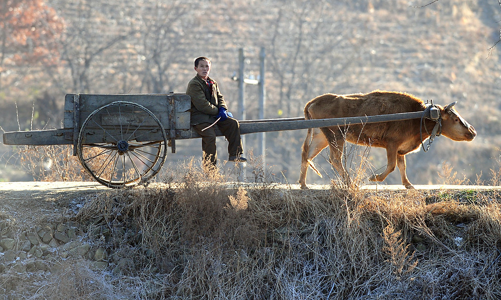 OLD WORLD: The area around Pyongyang Golf Course is light on traffic, save for the occasional ox-drawn cart.