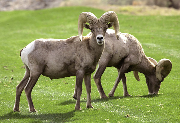 Two bighorn sheep munched on the 15th fairway at the Bob Hope Chrysler Classic.