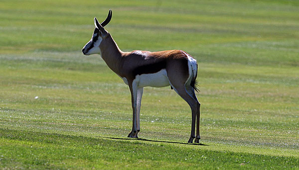 A Springbok made its way onto a golf course in Johannesburg.