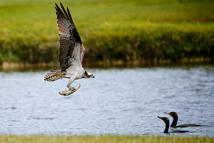 An osprey snatches an unlucky fish from the Copperhead course.