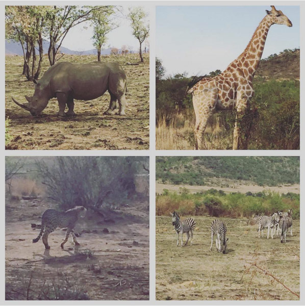 Worth getting up at 4.45 for. Rhino giraffe cheetah and zebras. #nedbankgolfchallenge #suncity2015