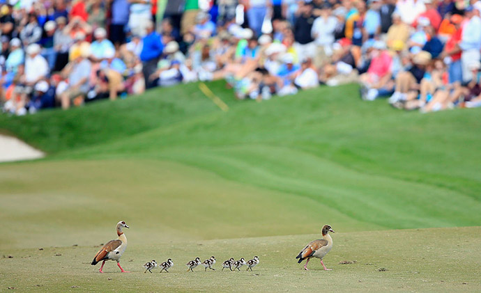 A family of geese hold up play as they march across the ninth fairway during the final round of the 2016 Honda Classic held on the PGA National Course at the PGA National Resort and Spa on February 28, 2016