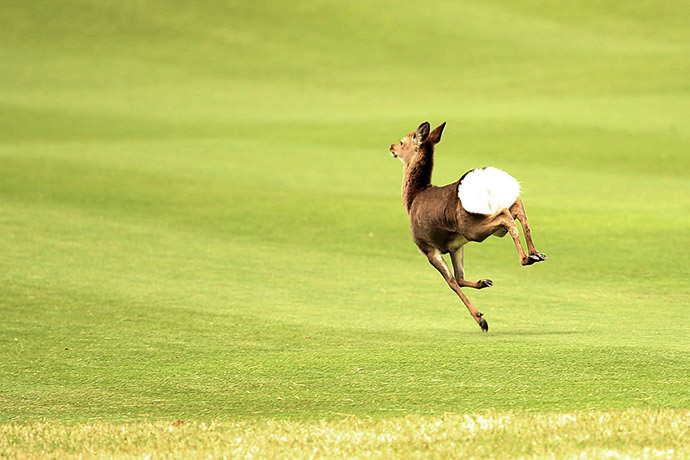 A deer runs through 5th hole during the second round of the T-Point Ladies Golf Tournament at the Wakagi Golf Club on March 19, 2016 in Takeo, Japan.