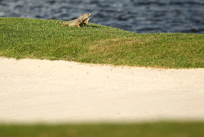 An Iguana suns itself on the 16th hole during the second round of the Puerto Rico Open at Coco Beach on March 25, 2016 in Rio Grande, Puerto Rico.
