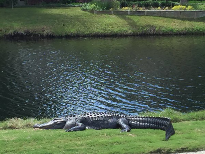 Had a great day playing with @RBC guests at Long Cove in Hilton Head. And this big fella was chilling on the first