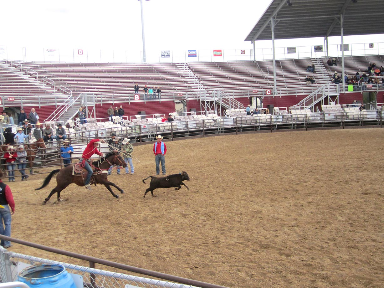 The calf roping competition gets underway at the Spanish Fork Fairgrounds in Spanish Fork, Utah.