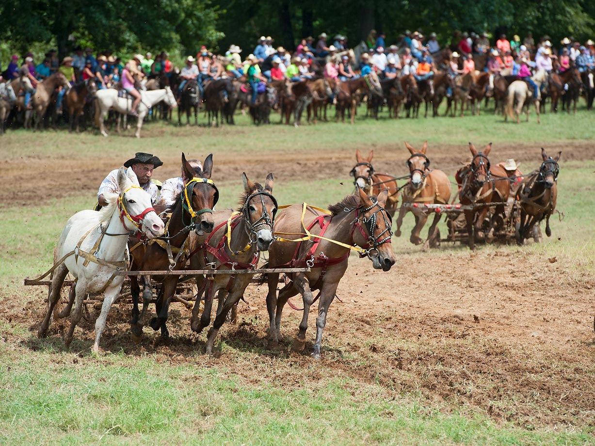 4 Up Mule racing takes up a lot more race track than the other types of Chuckwagon racing.