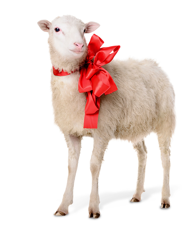 Last week Alex Ovechkin revealed that when he turned 30, on Sept. 17, he received a sheep as a gift.