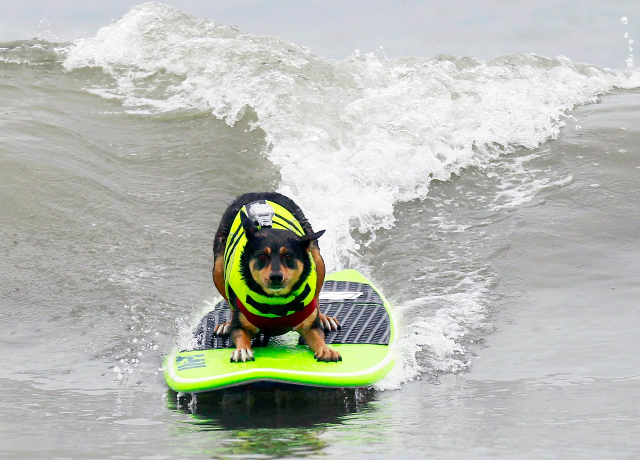 Abbie Uy, an Australian Kelpie dog, rides 60 meters (127 feet) at a dog surf contest in Huntington Beach, Calif.