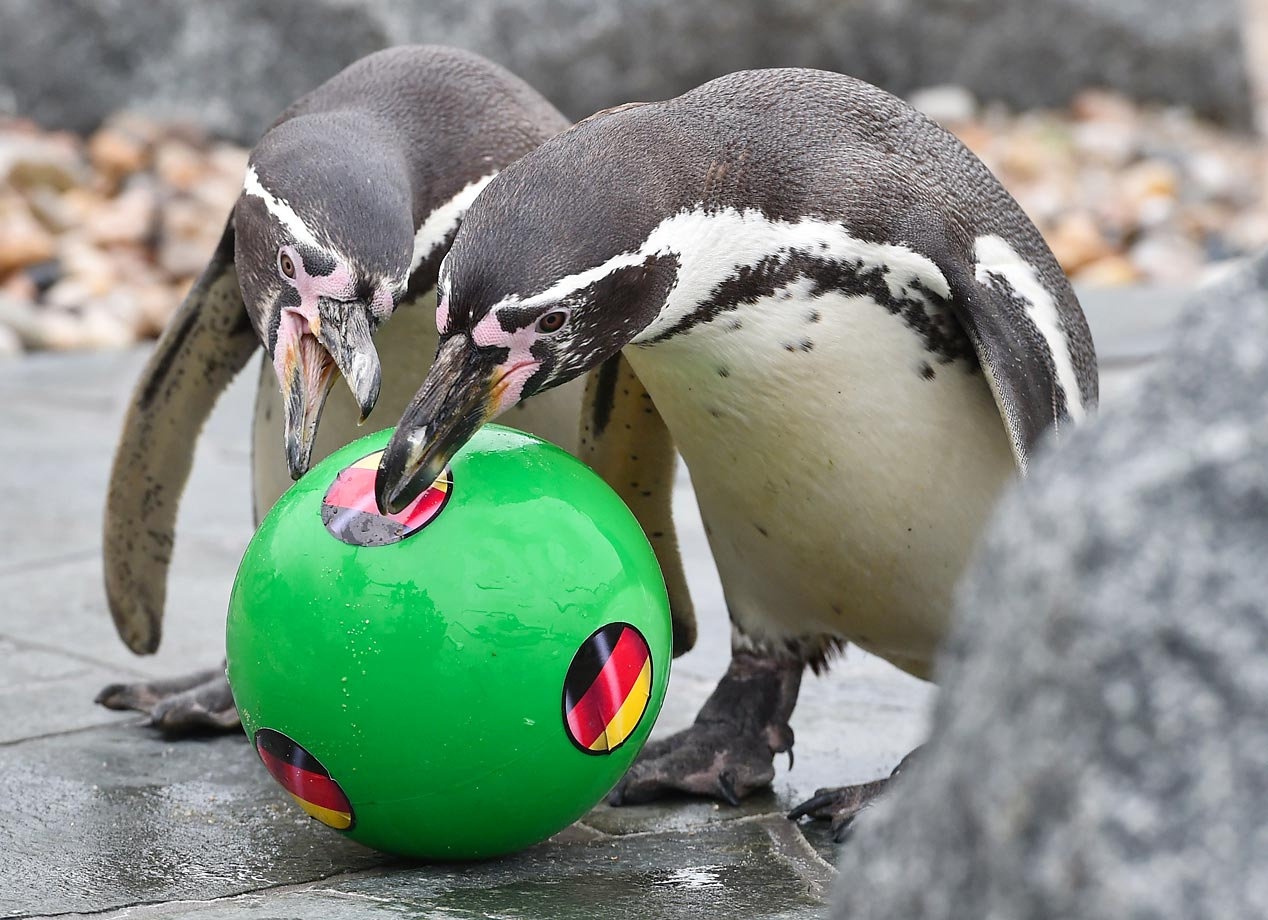 By golly, Futbol fever has infected even the penguins in Lübbenau, Germany.