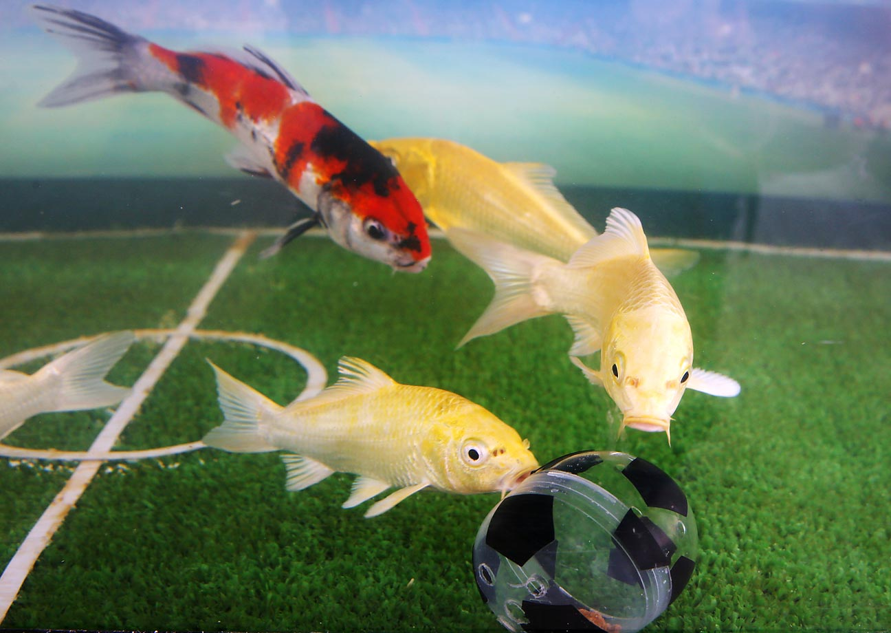 In other fishy news, Japan had reason to carp at Himeji Central Park after their nation's soccer team settled for a nil-nil draw against Greece in World Cup action.