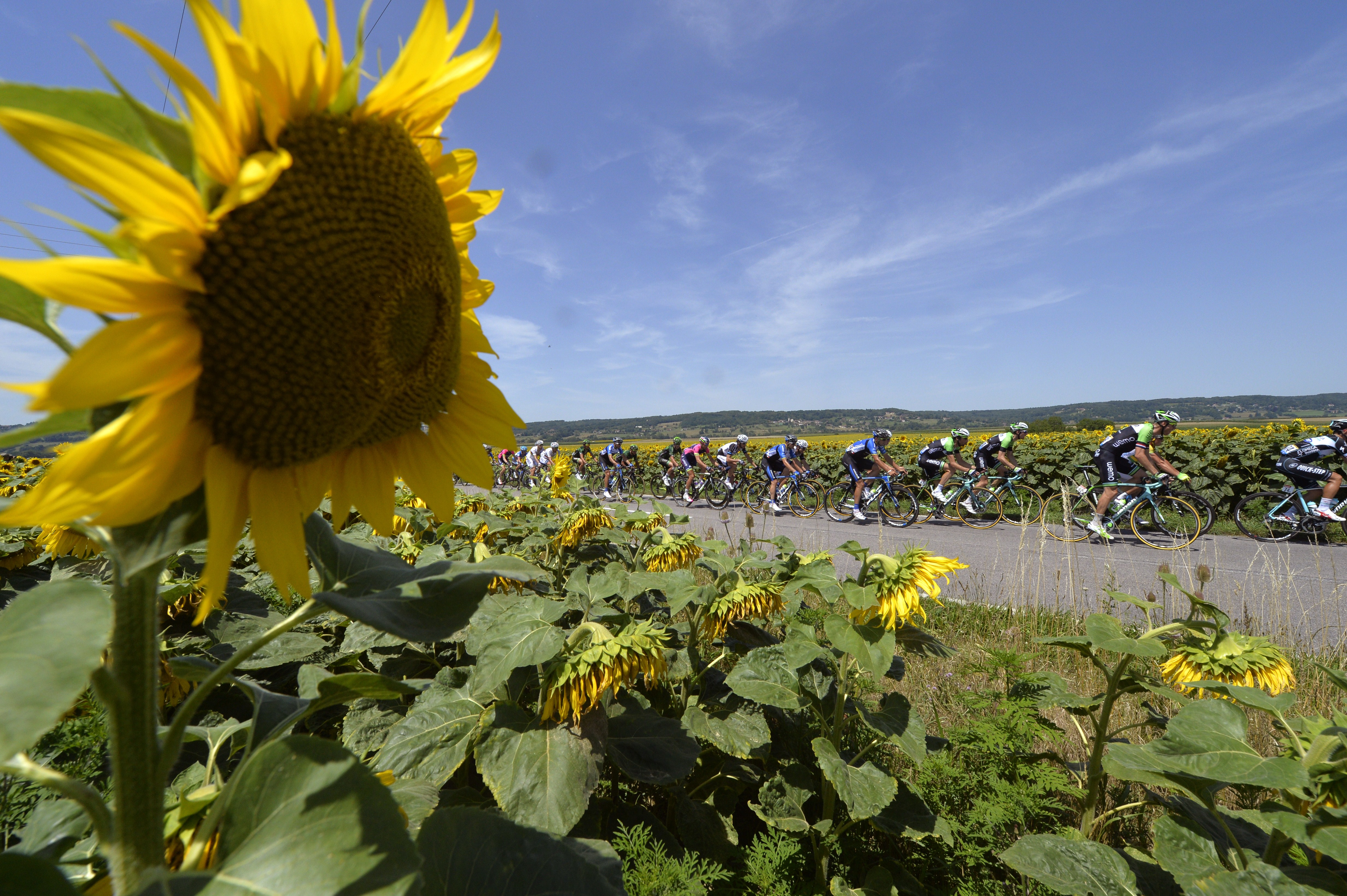 The pack rides past a sunflowers field during the 197.5 km thirteenth stage of the 101st edition of the Tour de France.