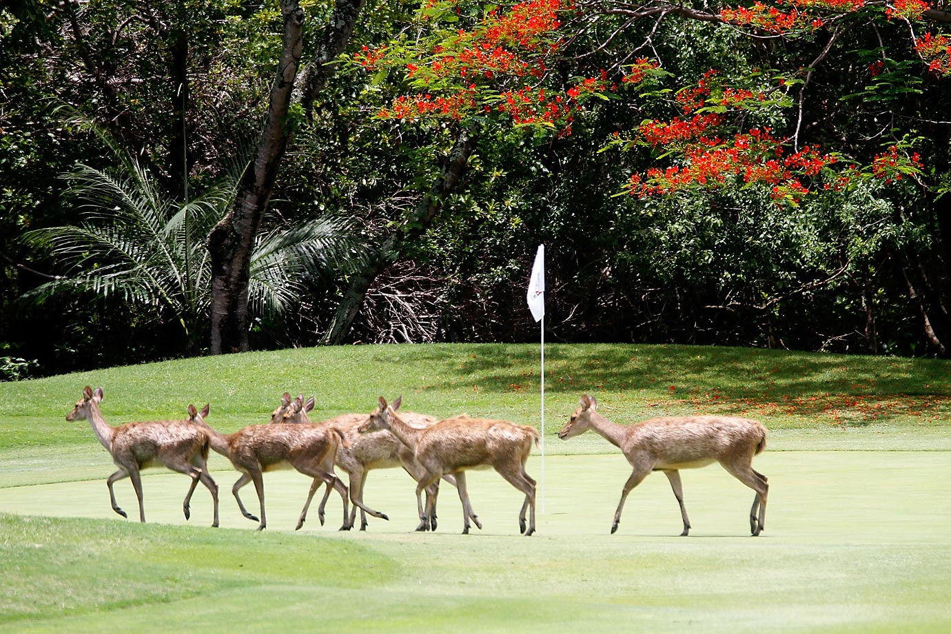 Deer roam across the third green during the second round of the MCB Tour Championship.