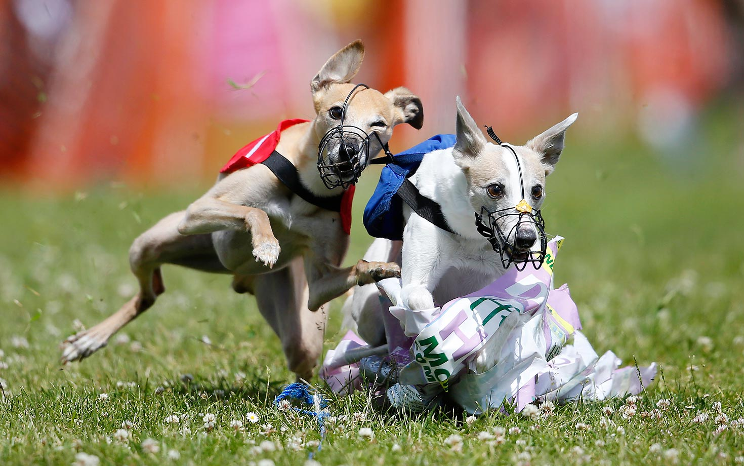 Whippets catch the plastic lure at the Classic English Whippet Derby in Fordingbridge, England.