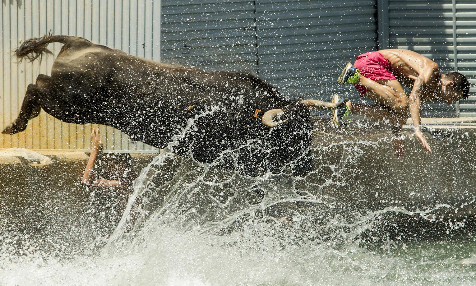 """A man and a bull jump into the water during the traditional running of the bulls """"Bous a la mar"""" (Bull in the sea) on Denia's harbor."""