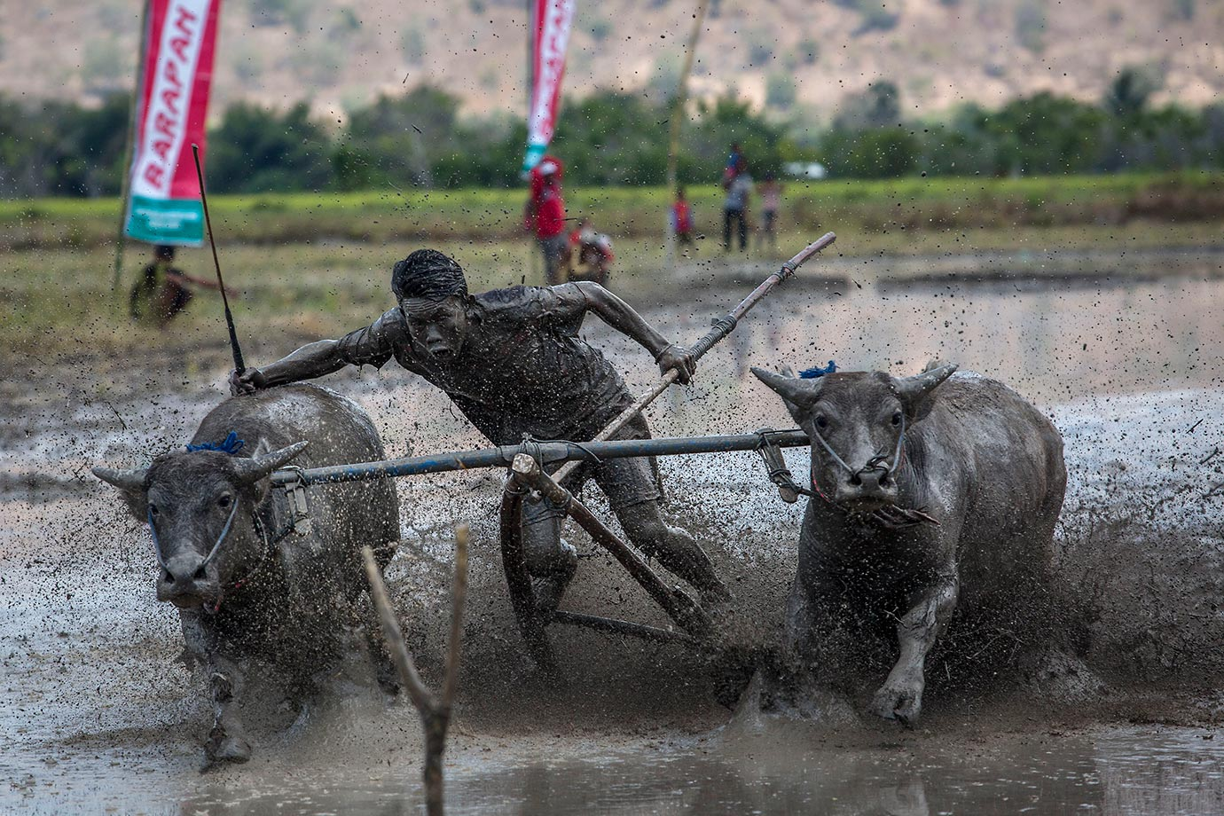 A jockey spurs the buffalos as they race during the Barapan Kebo or buffalo races in Indonesia.