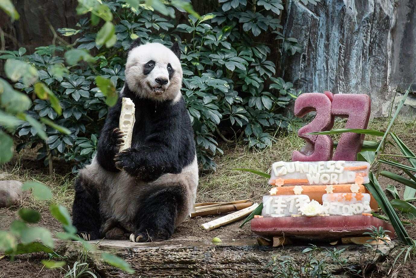 Jia Jia sits next to her cake made of ice and fruit juice to mark her 37th birthday at an amusement park in Hong Kong.  The giant panda became the oldest ever in captivity, ageing the equivalent of more than 100-years-old in human terms.