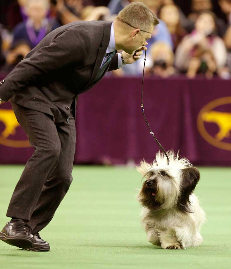 Charlie, a skye terrier, and Larry Cornelius show during the competition at Westminster. (See more dogs at end of this gallery.)