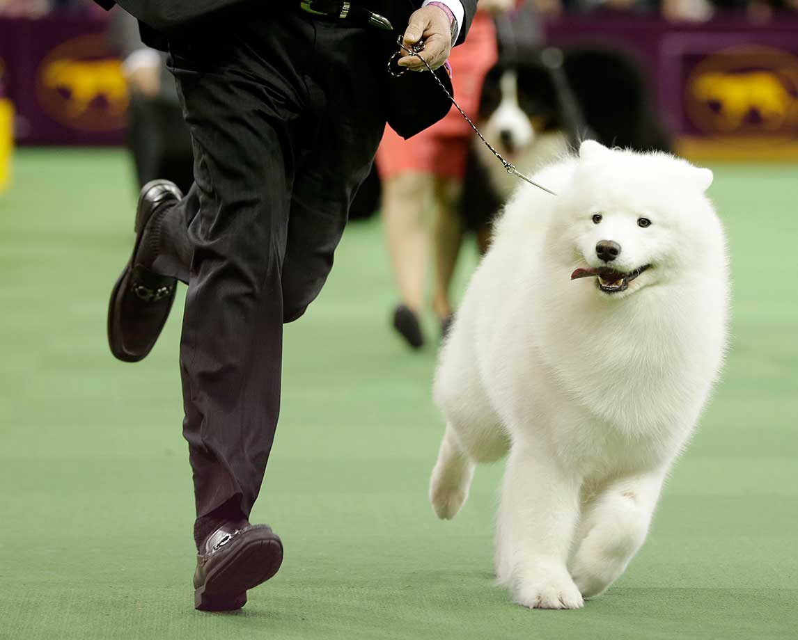 Bogie, a samoyed, during the working group competition at Westminster. (See more dogs at end of this gallery.)
