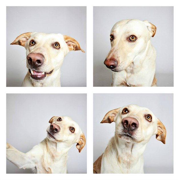 Buddy, 2-year-old labrador