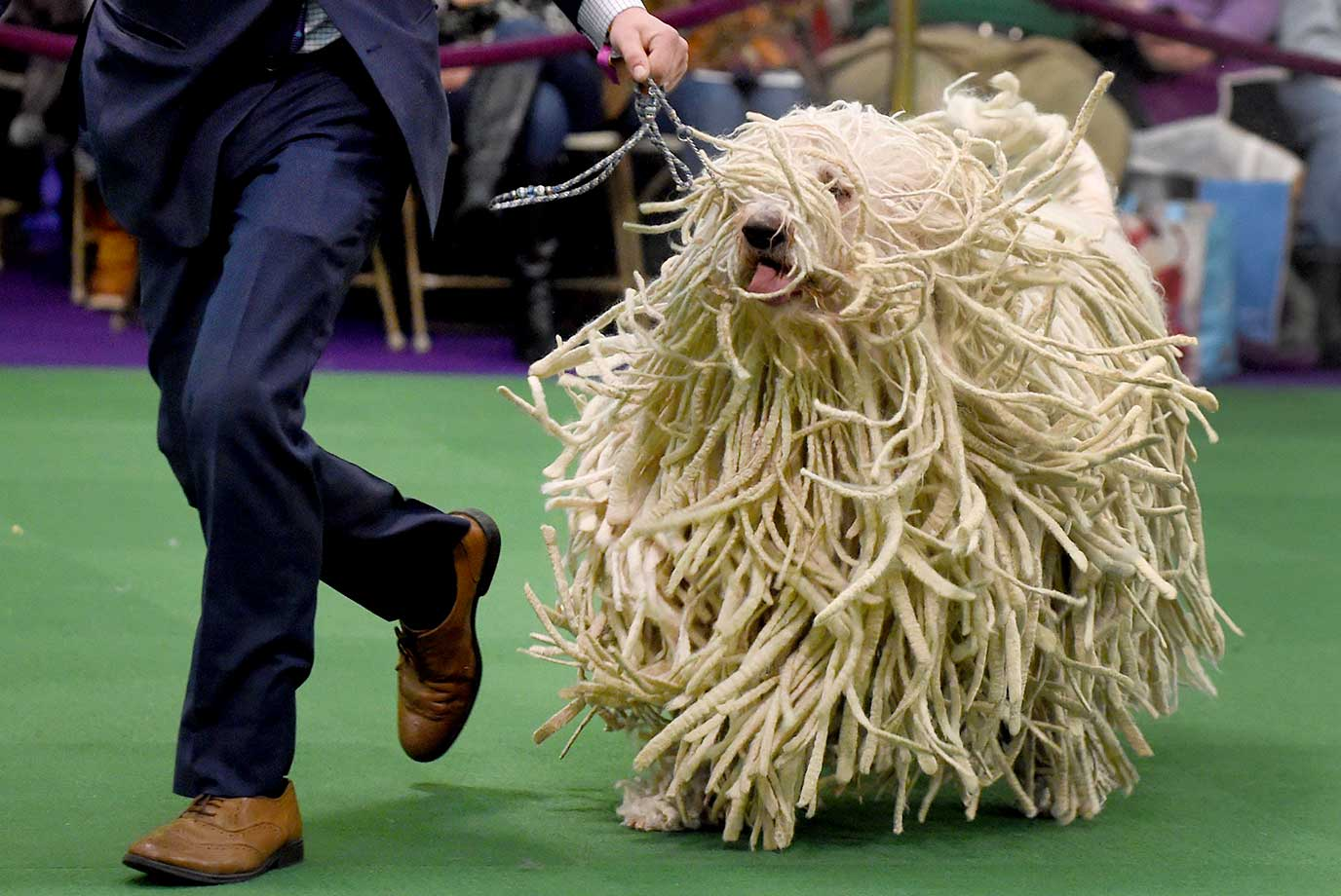 A Komondor is seen in the judging ring at the Westminster Kennel Club Dog Show.