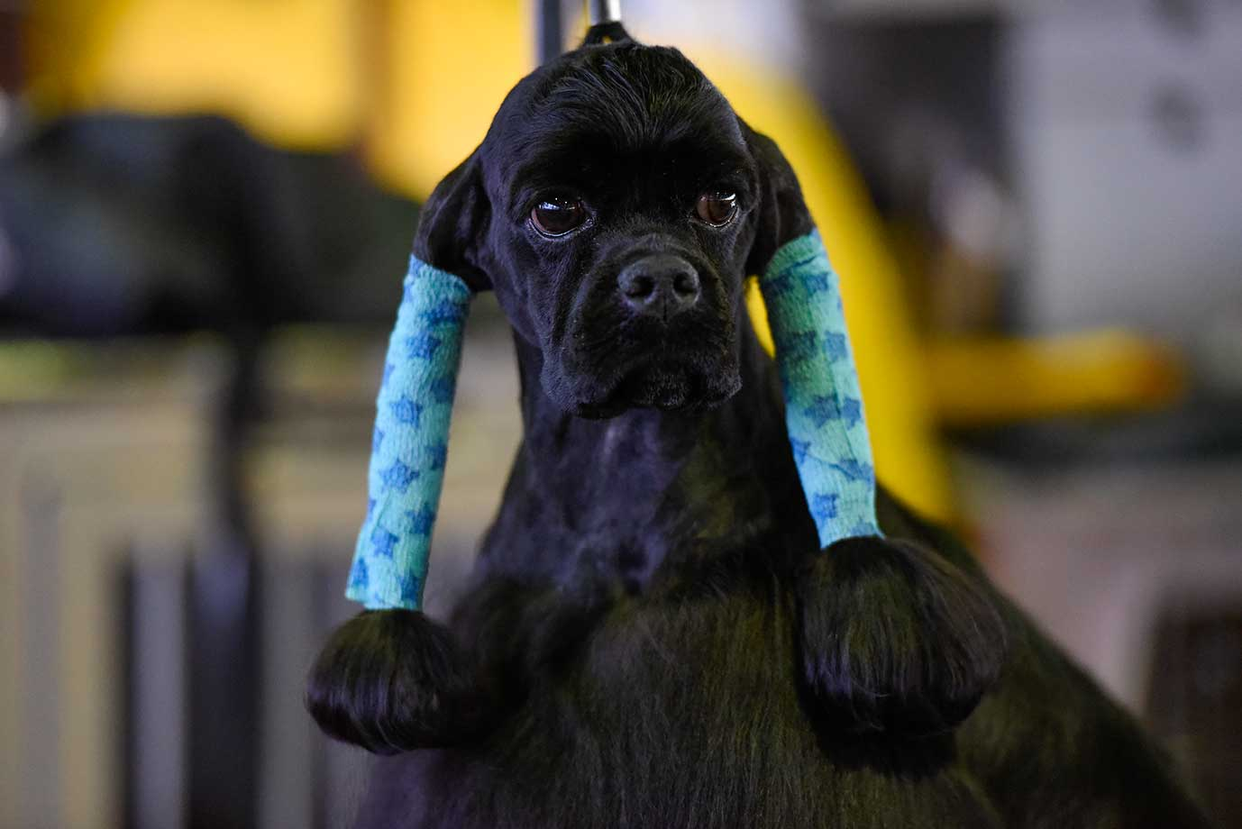 A Cocker Spaniel waits in the grooming area of the Westminster Kennel Club dog show.