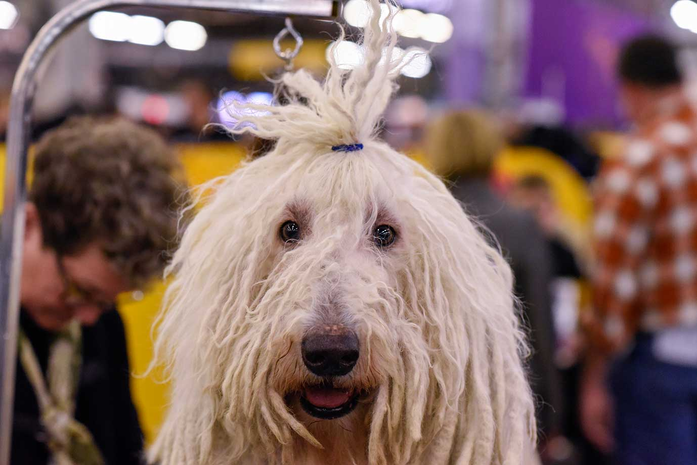 A Komondor waits in the grooming area during day two of competition of the Westminster Kennel Club dog show.