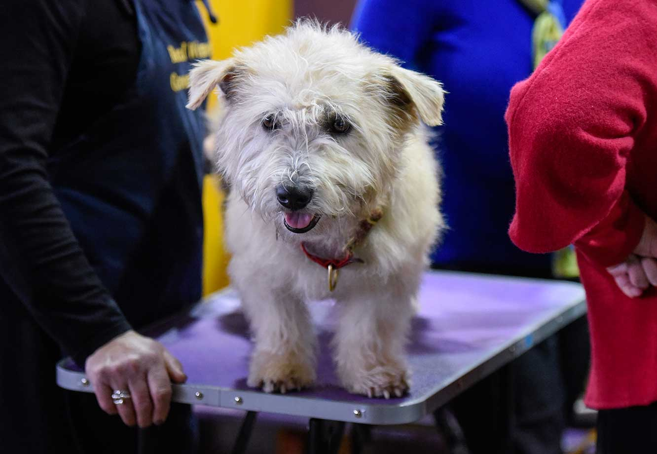 A dog waits in the grooming area during day two of competition of the Westminster Kennel Club dog show.