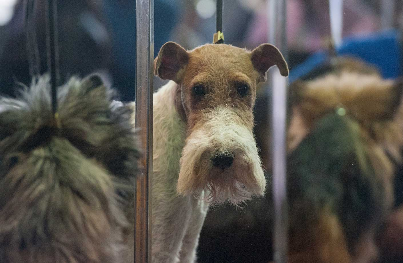 A Wire Fox Terrier waits with other dogs in the grooming area of the Westminster Kennel Club dog show.
