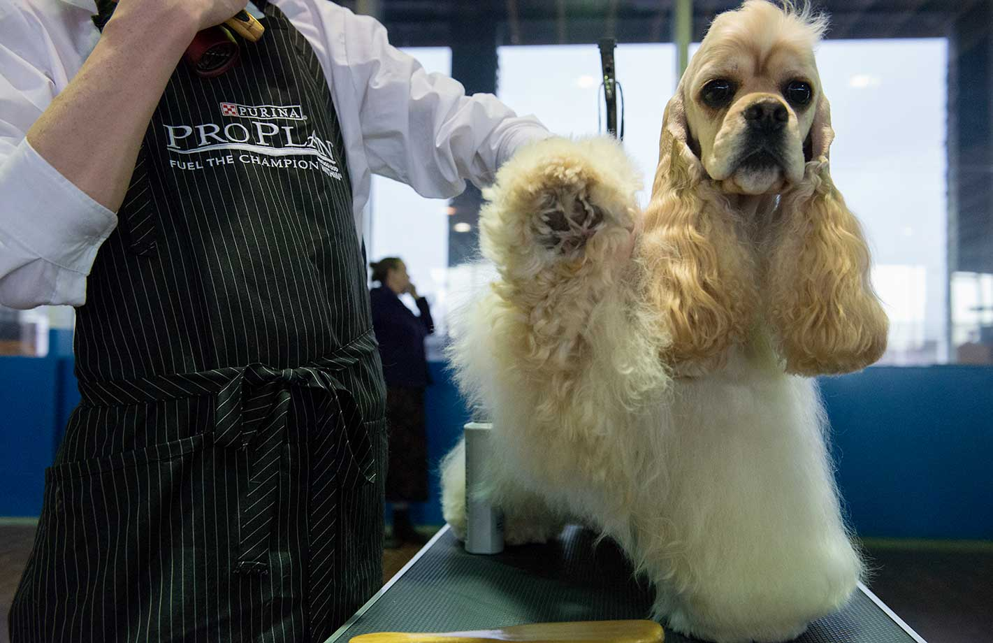 An American Cocker Spaniel is groomed on the second day of the Westminster Kennel Club dog show.