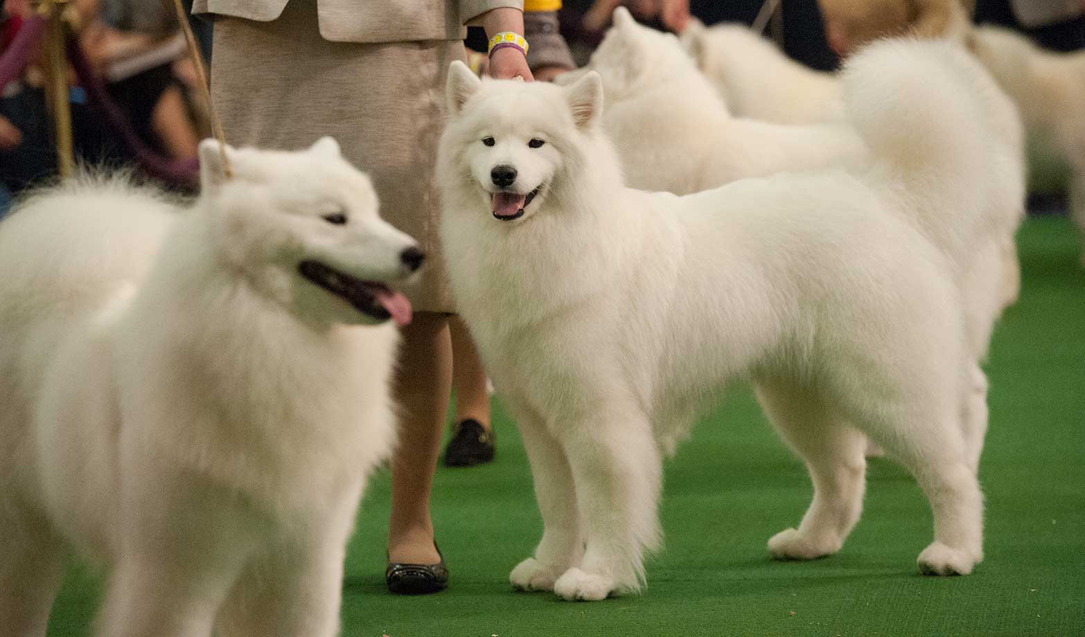 A group of Samoyed dogs compete on the second day of the Westminster Kennel Club dog show.