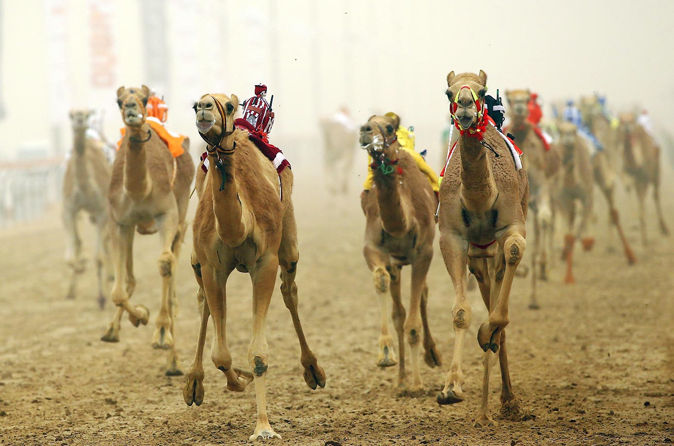 Camels race during Al Marmoom Heritage Festival in Dubai.