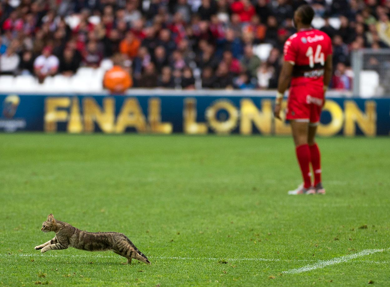 A cat runs on the field during the European Champions Cup rugby union semifinal between Toulon and Leinster.