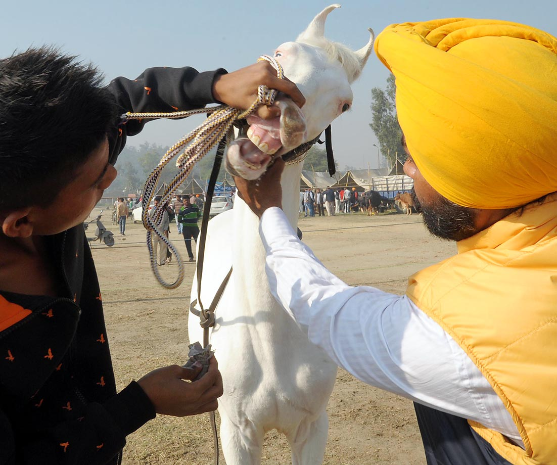 A vet inspects a horse during the Khetri Pashudhan Championship at Vallah village, on the outskirts of Amritsar. Farmers, with their livestock, participated in the two-day animal fair.