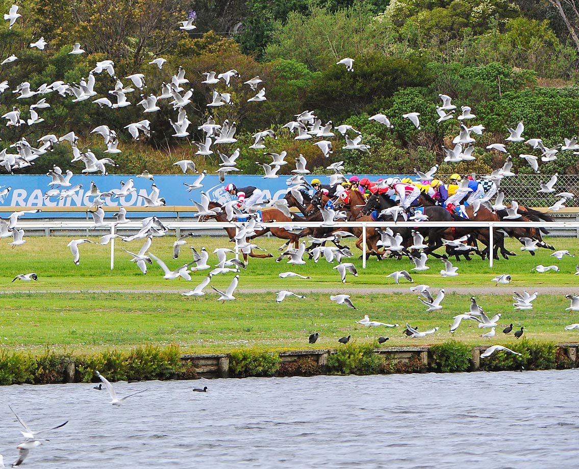 A flock of seagulls at the barrier start of Race 8, during Melbourne racing at Sandown Hillside.