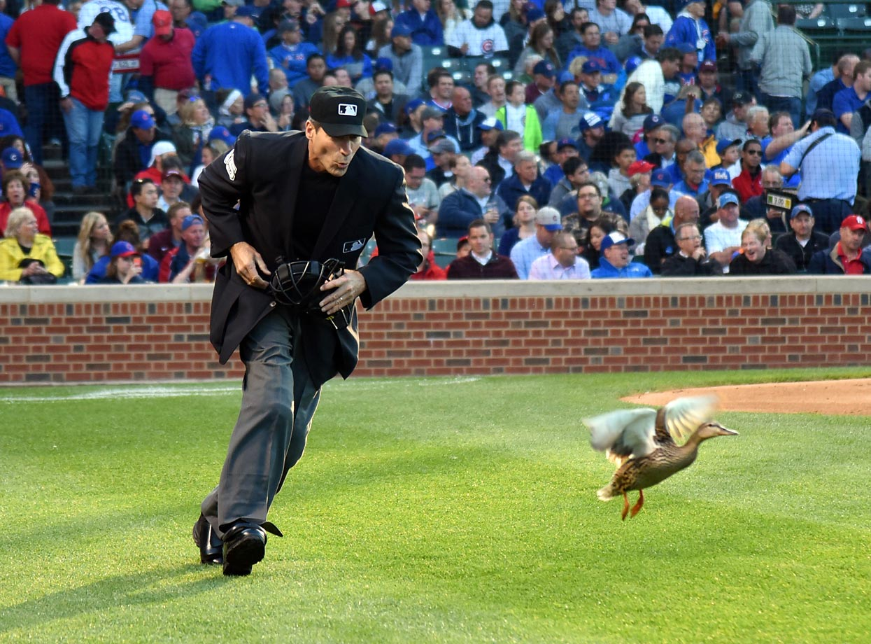 Home plate umpire Angel Hernandez shoos a duck from the field during the second inning of a doubleheader between the Chicago Cubs and the St. Louis Cardinals.